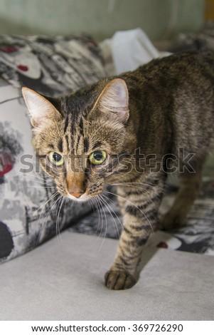 The predatory gaze of the striped cat.    - stock photo