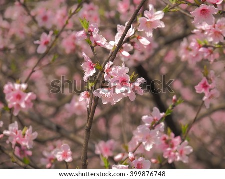 The Pretty Peach Blossoms In Park Warm Spring Day
