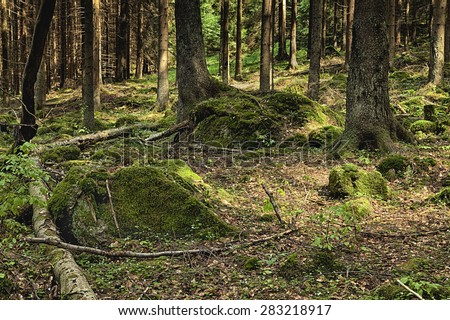 The primeval forest with mossed ground and boulders