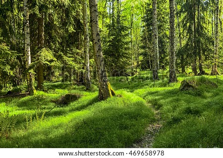 The primeval Spruce and Birch forest with grass on ground