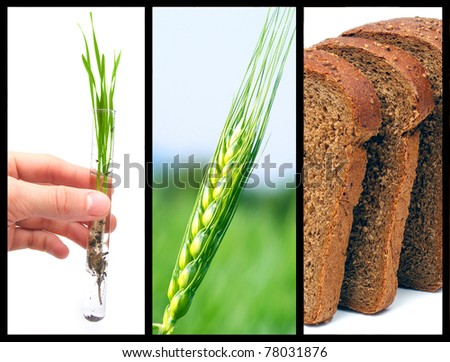 The process of growing bread - stock photo