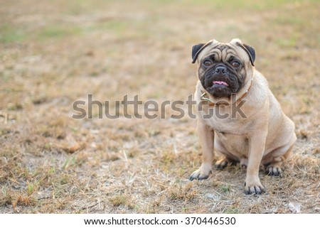 The pug dog sitting on grass in morning.