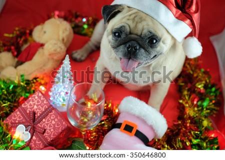 The pug dog wearing santa hat waiting for Chris-mas party. - stock photo