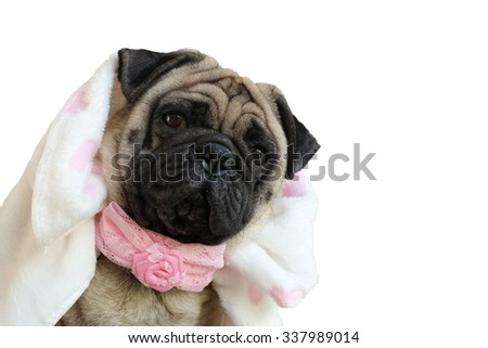 The Pug dressed in a fancy 's Costume.