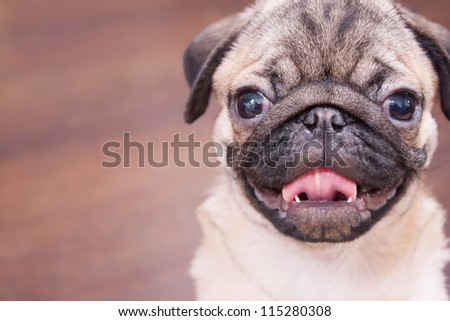 The pug puppy closeup. - stock photo