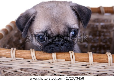 the pug puppy in a basket on a white background
