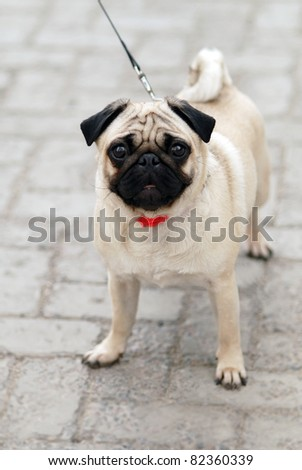The pug walks on the street - stock photo