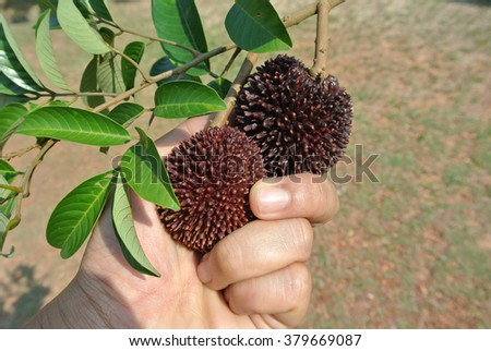 The pulasan, Nephelium mutabile Blume is often called wild rambutan by the locals or Pulasan. The difference between rambutan and pulasan are its thick skin with short tubercles blunt spines