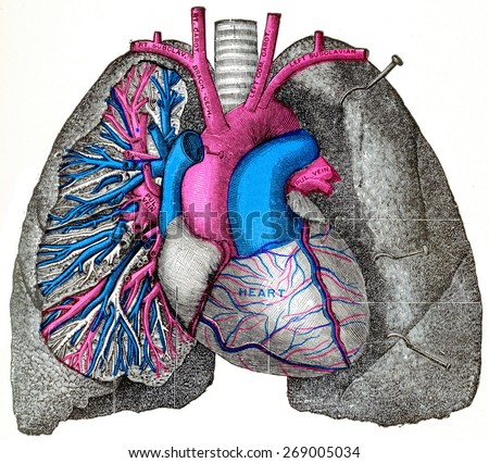 The pulmonary artery and aorta, vintage engraved illustration.  - stock photo