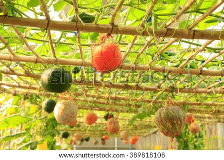 The pumpkin in the greenhouses - stock photo