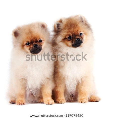 The puppies of a spitz-dog sits on a white background