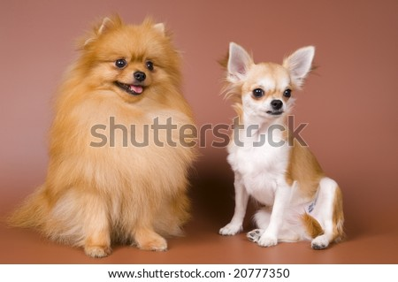 The puppy chihuahua and spitz-dog in studio on a neutral background