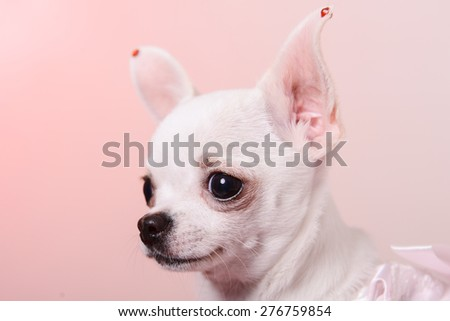 the puppy Chihuahua on red pillow - stock photo