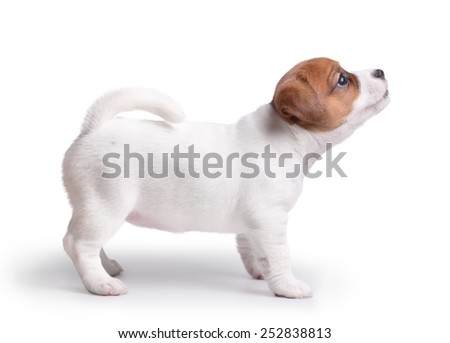 the puppy Jack Russell stand on white background and looks top. isolated