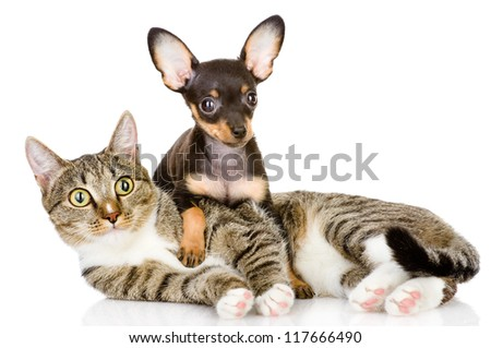 the puppy lies on a striped cat.looking at camera. isolated on white background - stock photo