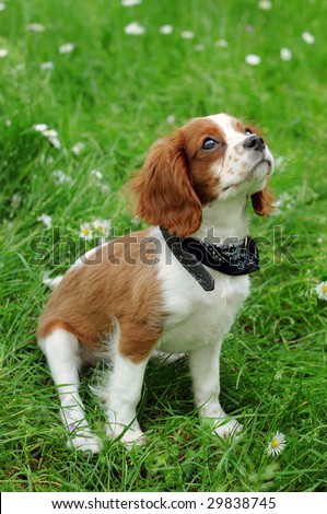 the puppy of cavalier king
