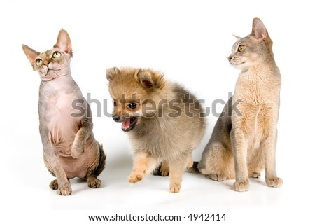 The puppy of the spitz-dog with cats in studio