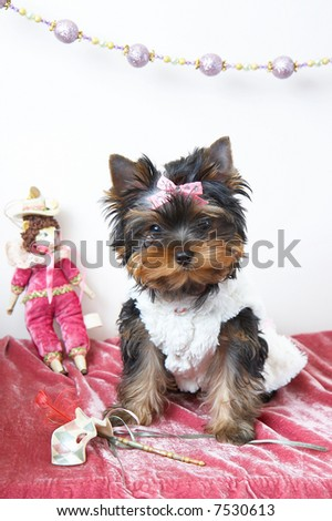 The puppy of the yorkshire terrier in the celebratory order