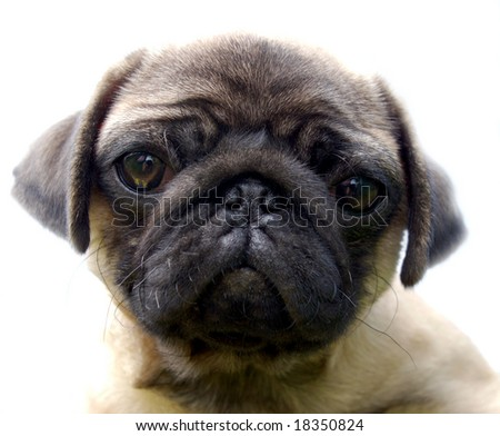 The Puppy pug - stock photo