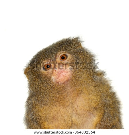 The pygmy marmoset, cebuella pygmaea, isolated on white background - stock photo