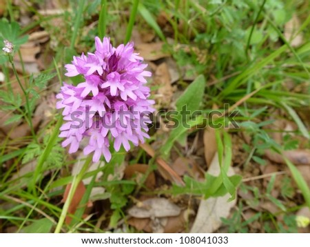 The pyramidal orchid with pink flowers