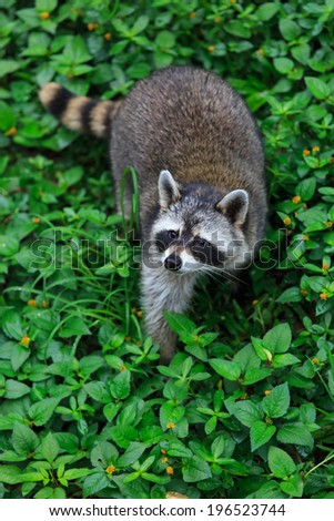 The raccoon play in the grass background  - stock photo