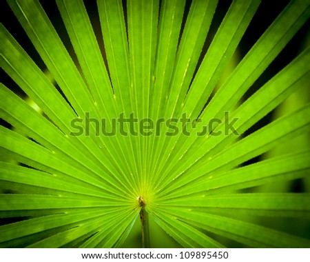 the radiating leaflets of a finger palm make a nice pattern - stock photo