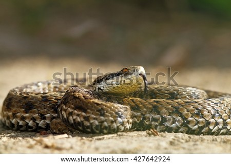the rarest snake in europe, hungarian meadow viper ( Vipera ursinii rakosiensis )