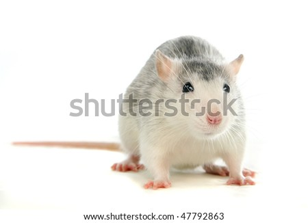 The rat on the white background