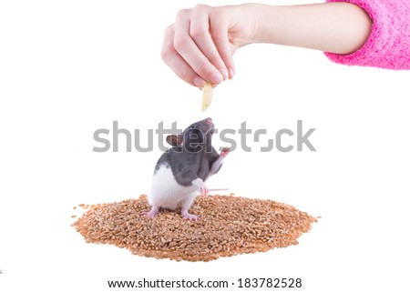 The rat takes a forage from a human hand - stock photo