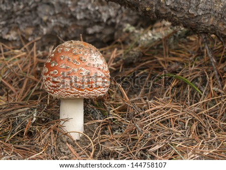 The red Amanita Muscaria stands out among the pine needles