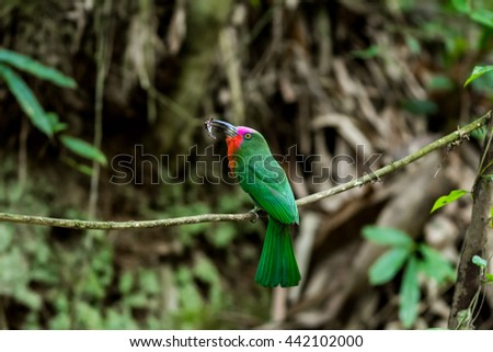 The red-bearded-bee-eater is one kind of beautiful birds in forest, eating bee in nature, standing on branch.