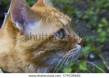 The red beautiful cat sits in a yard