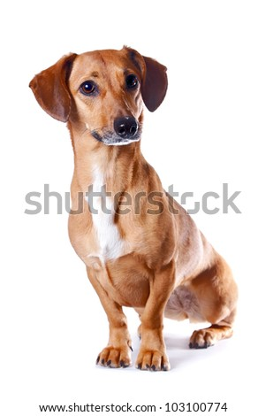 The red dachshund sits on a white background