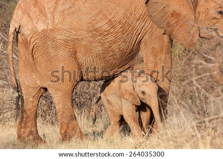 the red elephants of Tsavo East national park Kenya.