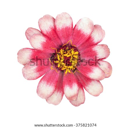 The red flower with yellow stamens isolated on the white - stock photo