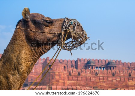 The Red Fort of Agra with a camel's head in the foreground. - stock photo