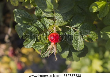 The red fruit of the wild rose - stock photo