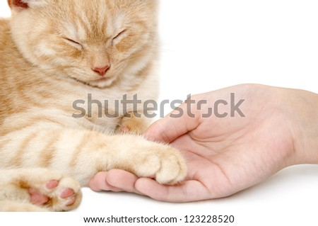 The red kitten of breed a Scottish straight - stock photo