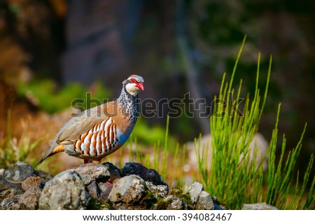 the red-legged partridge - a rotund bird, with a light brown back, grey breast and buff belly. It has rufous-streaked flanks and red legs