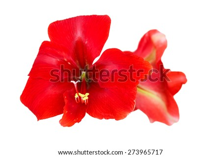 the red Lily on a white background