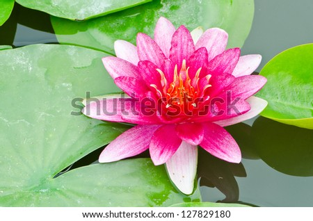 The red lotus flower in the peaceful pond. - stock photo