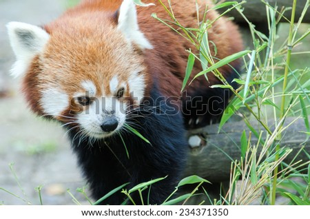 the red panda - stock photo