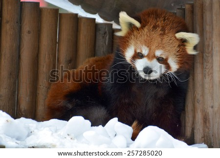 The red panda (Ailurus fulgens), also called lesser panda and red cat-bear, is a small arboreal mammal native to the eastern Himalayas and south-western China. soft focus - stock photo