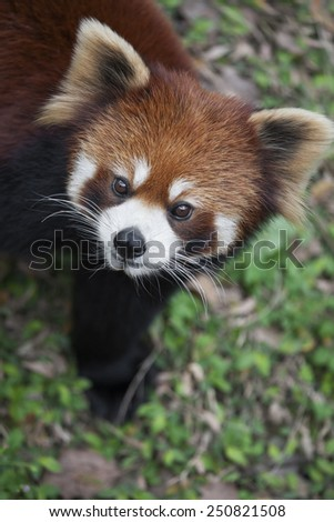 The red panda Ailurus fulgens, also known as Lesser Panda and Red Cat-Bear, is a small arboreal mammal native to the eastern Himalayas and south-western China.  - stock photo