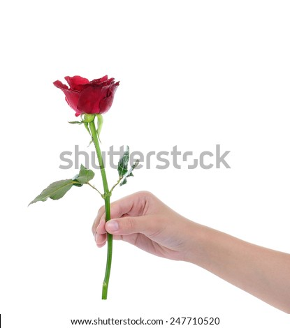 the red rose in the female hand for everyone ,isolated on white  - stock photo
