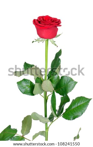 The  red roses isolated on white background - stock photo