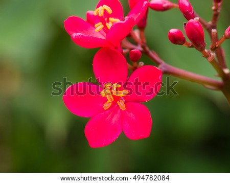 The Red Spicy Jatropha Flowers Blooming