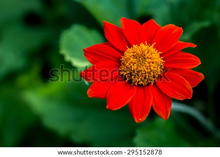 The red sunflower is an artificially bred flower - stock photo