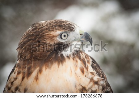 The Red-Tailed Hawk gives an intense stare for it's prey as it is perched during a recent snow. - stock photo